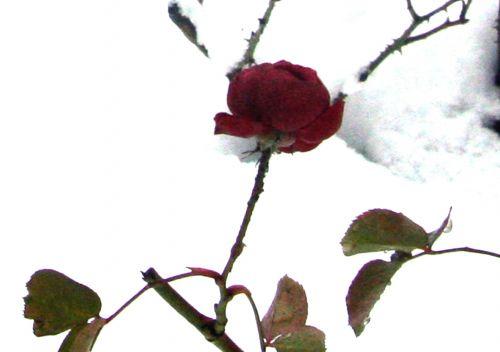 rose pr neige 20 déc 2010 032.jpg
