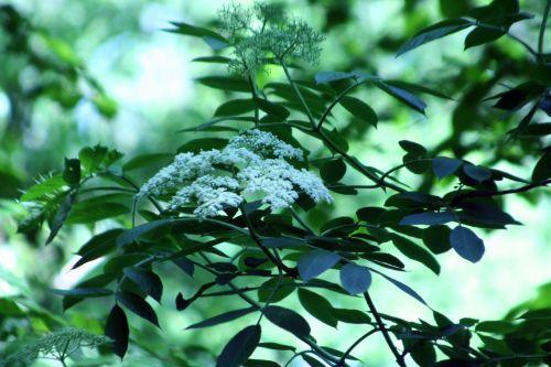 palmensis veneux 24 mai 008.jpg