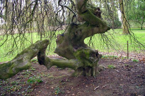 fagus tor tronc Harcourt 19 avril 095.jpg