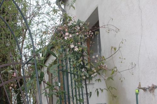 1 clematis apple blossom veneux 24 mars 2017 001 (3).jpg