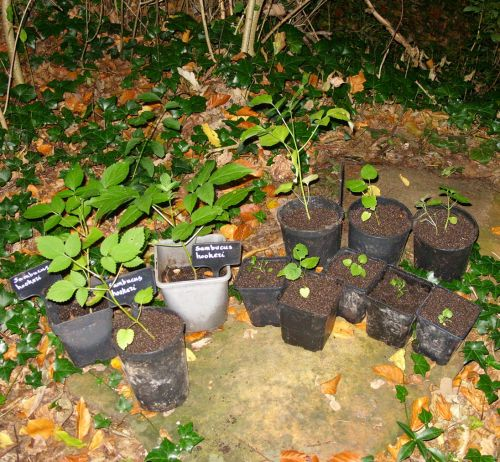 hookeri semis 14 oct.jpg