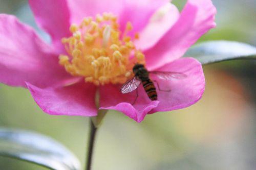 camellia sasanqua 19 octobre 2014 008.jpg