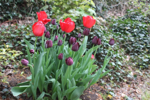 3 tulipes veneux 23 avril 2016 004.jpg
