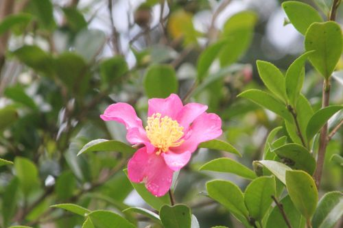 3 camellia sasanqua crimson king gb 21 oct 2012.jpg