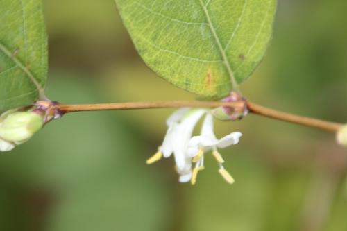 2 lonicera fragrantissima veneux 24 nov 2015 018.jpg