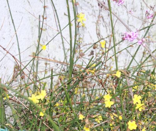 jasminum nudiflorum veneux 29 janv 2015 007.jpg