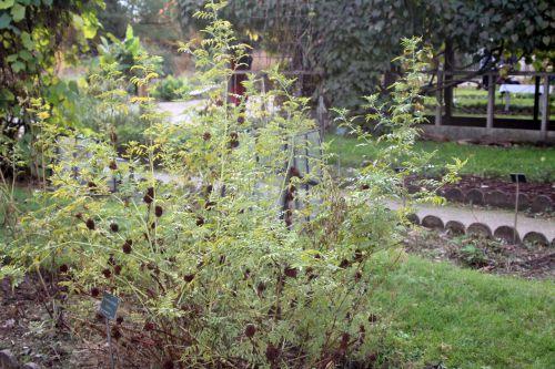1 glycyrrhiza echinata paris 10 nov 2012 186.jpg