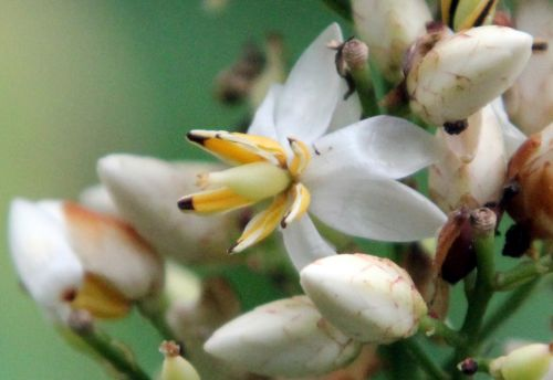 14 nandina fleur 1 août 2012 014.jpg