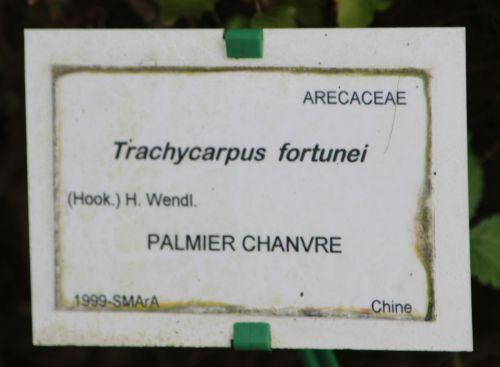 1 trachycarpus fortunei marnay 8 mai 2014 019 (6).jpg