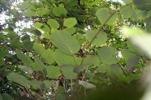 actinidia deli feuillesveneux 25 sept 2010 021.jpg
