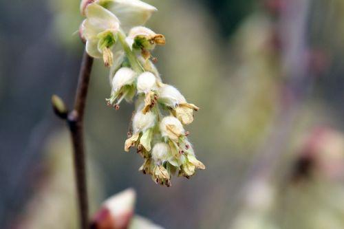 corylopsis sinensis gb 9 avril 2012 083 (4).jpg