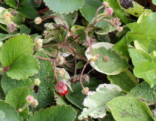 fraisier fr Le Coudray 16 août.jpg