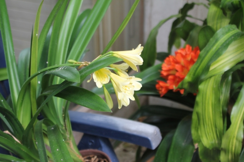 clivia jaune veneux 18 juil 2015 014 (1).jpg