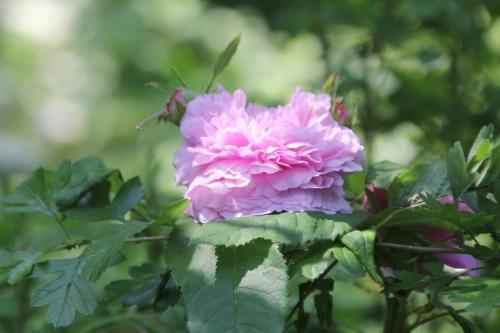 10 rosa inconnue romi 9 juin 2015 005 (2).jpg
