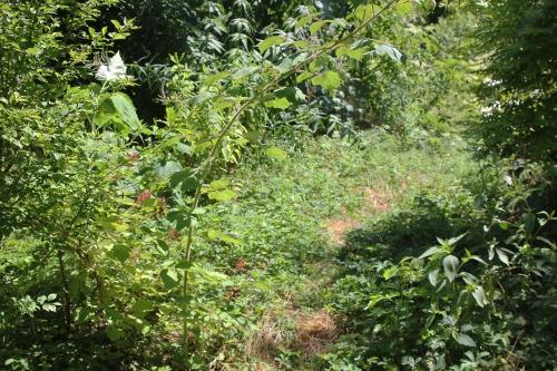 8 rubus phoenicolasius romi 6 juil 2015 012.jpg