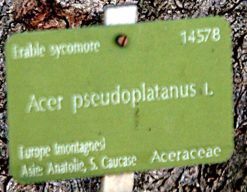 acer pseudoplatanus étiq paris 16 jan p 382.jpg