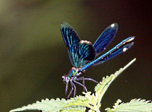 agrion bleu sombre ailes ouv12 juil 2010 pp 022.jpg