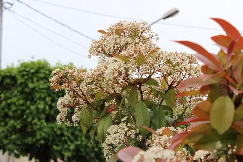 6 photinia veneux 18 mai 2013 014.jpg