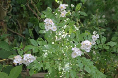 16 rosa multiflora romi 9 juin 2015 101.jpg