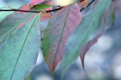 stewartia sinensis 4 gb 21 oct 2012 252 (2).jpg