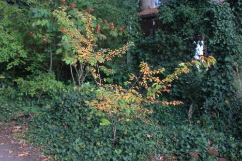 10 prunus autumnalis veneux 15 oct 2016 010.jpg