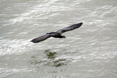 4 cormoran vol paris 10 nov 2012 010 (3).jpg