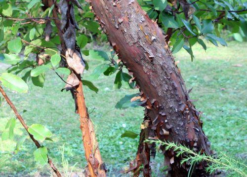 arbutus andrachnoides tronc 16 septembre 093.jpg