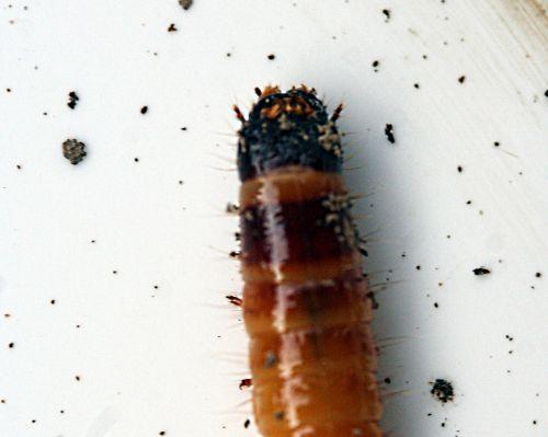 tipule larve avant pp romi 8 nov 015.jpg