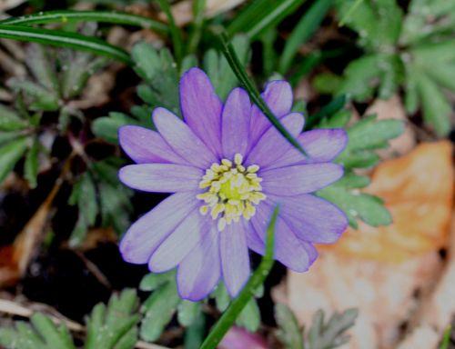 anemone bleue 14 mars 002.jpg