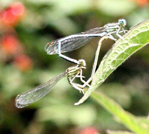 amours de libellules près 7 juillet p 050.jpg
