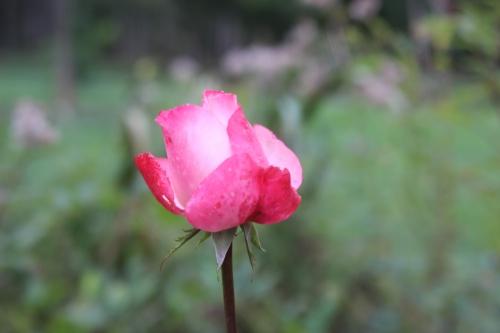 rosa romi 11 oct 2015 006.jpg