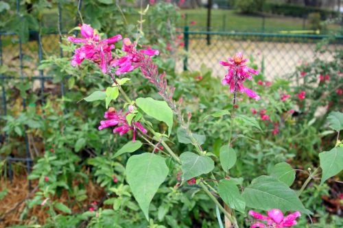 salvia involucrata paris 1 dec 055.jpg