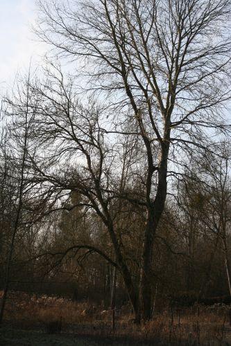 deux arbres 18 déc 005.jpg