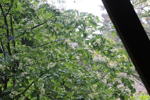 1 sorbus torminalis veneux 11 mai 2016 002.jpg