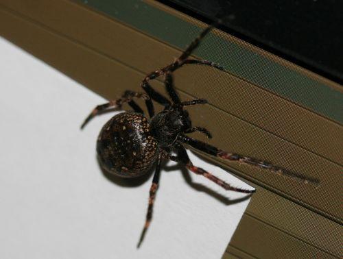 araignée veneux 16 mars 052.jpg