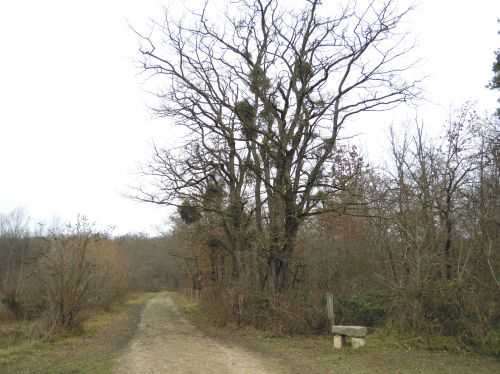 viscum arbre autre sorques 1 jan 2011 011.jpg