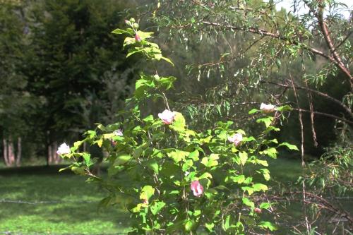 6 hibiscus syriacus romi 12 sept 2017 003.jpg