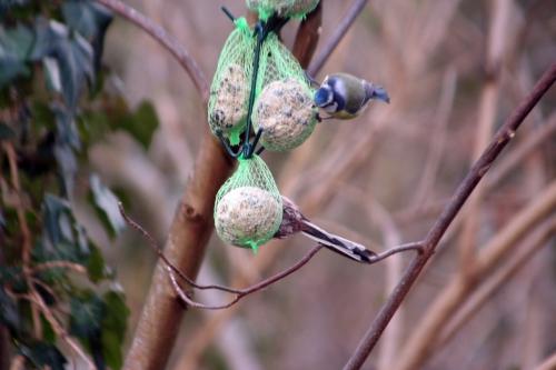 4 mésange à longue queue  bleue 15 fev 2011 007.jpg
