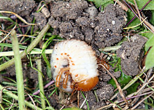 hanneton larve pp romi 22 juin 086.jpg
