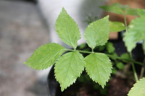 lanceolata veneux 10 juil 2010 015.jpg