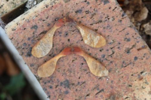 13 acer platanoides veneux 24 août 2016 025.jpg