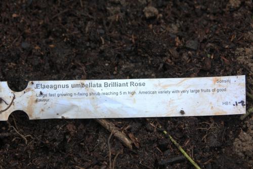 elaeagnus umb brilliant rose romi 15 nov 2014 018 (2).jpg
