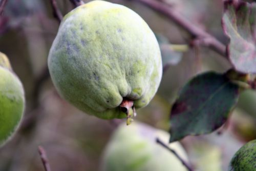 pseudocyd fruit marnay 18 sept 2010 103.jpg