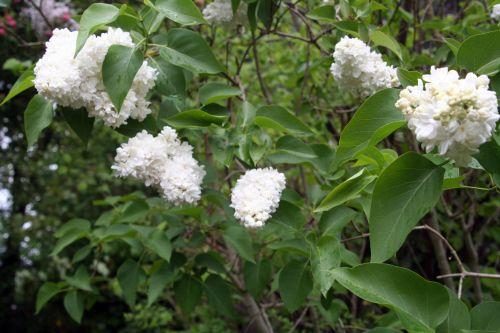 lilas blanc veneux 25 avril 005.jpg