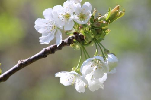 2 cerisier early river romi 19 avril 2016 021.jpg