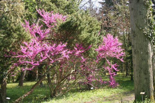 cercis chinensis barres 9 avril 2011 091.jpg