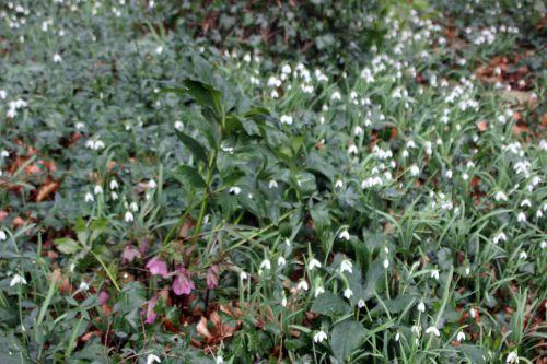 helleborus orientalis 1 veneux 15 fev 2014 001 (3).jpg