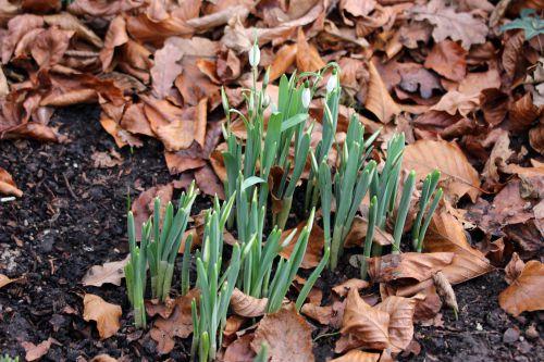 galanthus elwesii veneux 3 janvier 2014 001.jpg