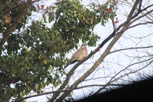 3 pigeon ramier veneux 1 janv 2016 019.jpg