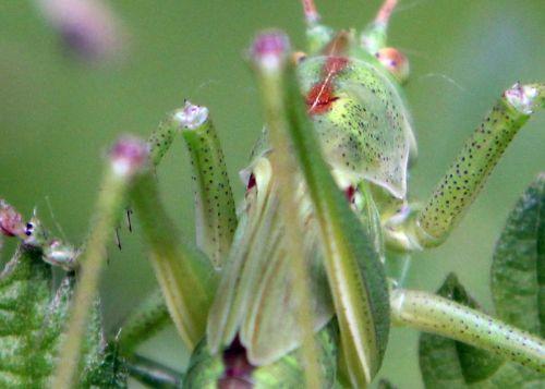 9 sauterelle verte tête 30 juin 2012 057 (4).jpg